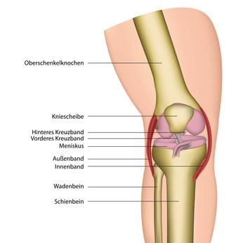 Kniegelenk mit Bändern und Sehnen